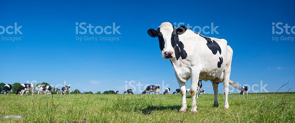 Panoramic view of black and white cow stock photo