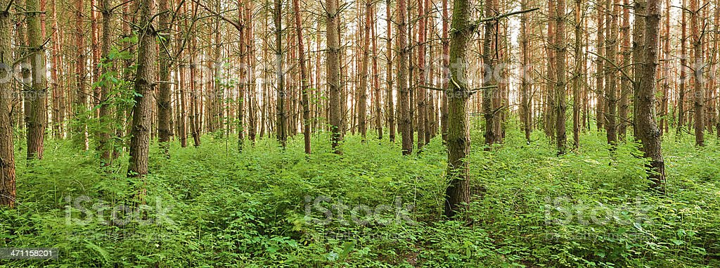 Panoramic view of deep forest 28MPix, XXXL size royalty-free stock photo