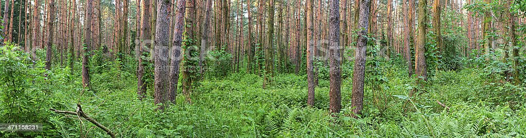 Panoramic view of deep forest 36MPix, XXXL size royalty-free stock photo
