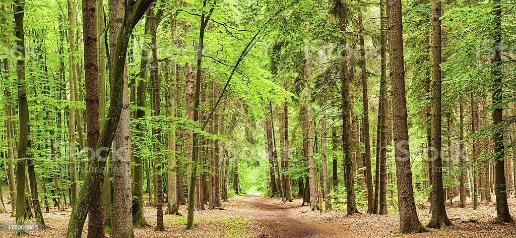 Panoramic view of deep forest royalty-free stock photo