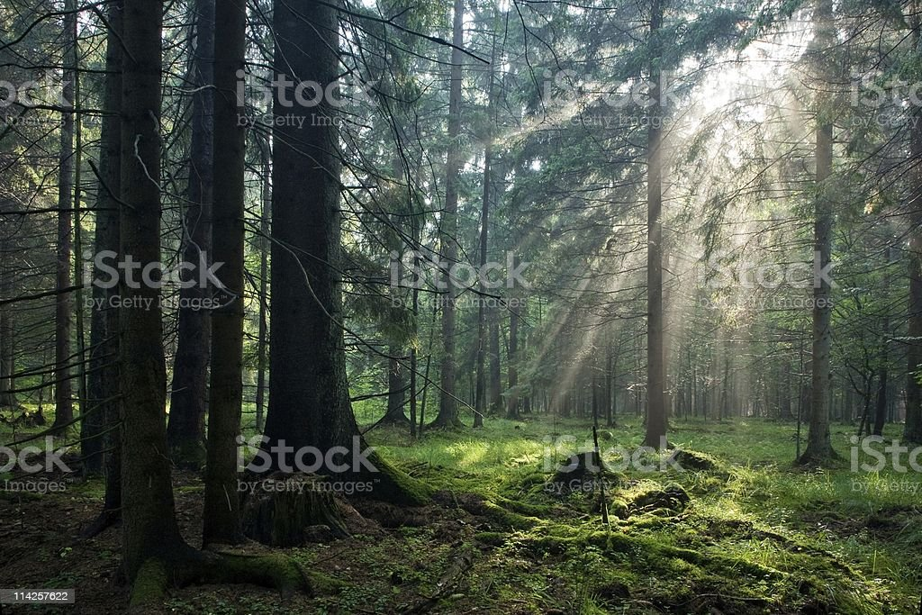 Panoramic view of forest with sun rays coming through leaves stock photo