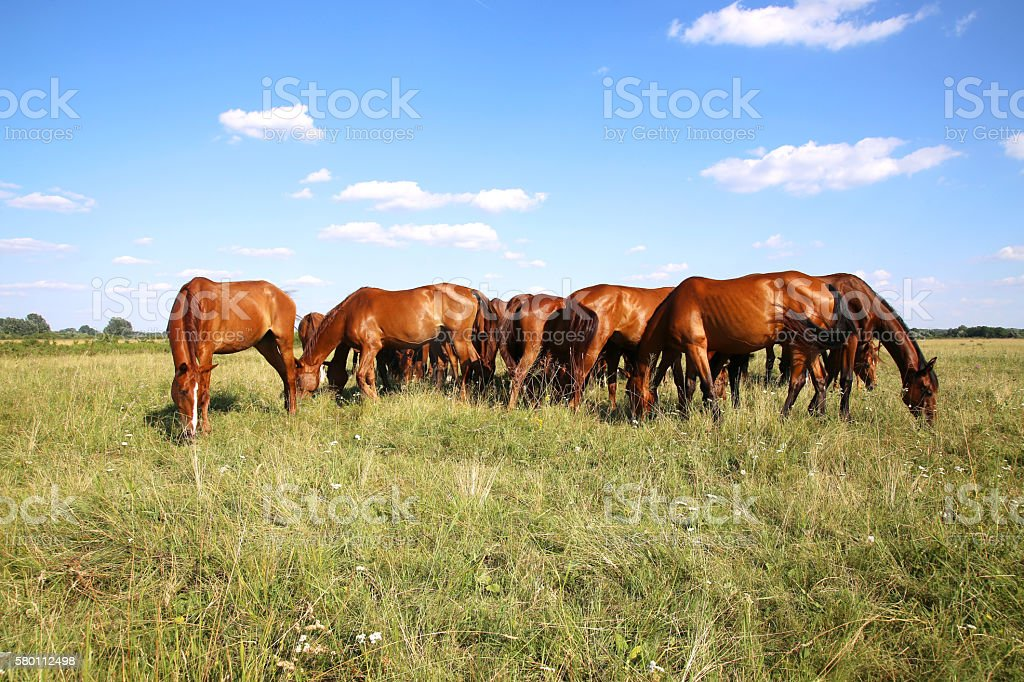 Panoramic view of herd of horses when grazing on meadow stock photo