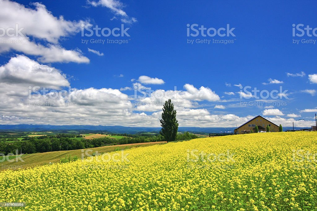 Panoramic view of mustard field and blue sky in Hokkaido stock photo