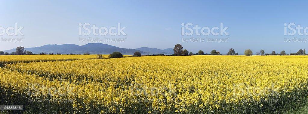 Panoramic view of mustard plants along the Trasimeno lake, Italy stock photo