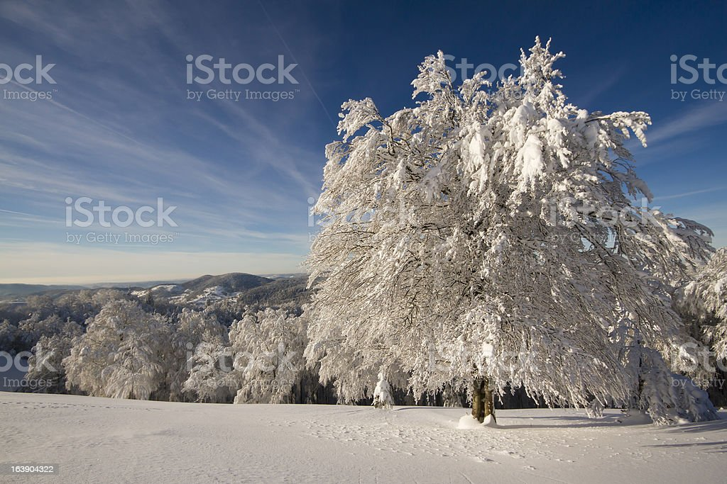 panoramic view of snowy large beech tree stock photo