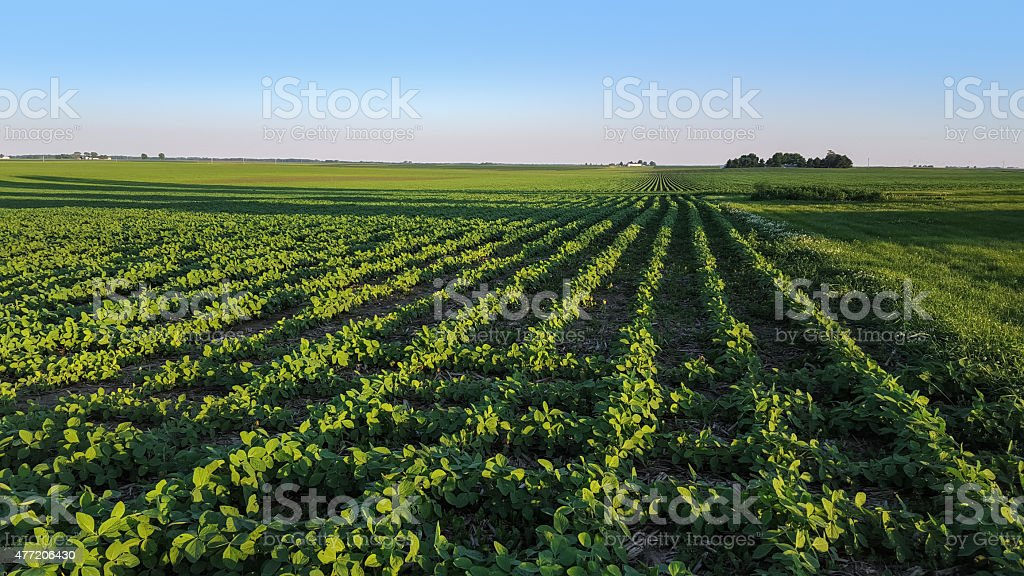 Panoramic view of soybean field stock photo