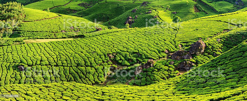 Panoramic view of tea plantation in India, Asia royalty-free stock photo