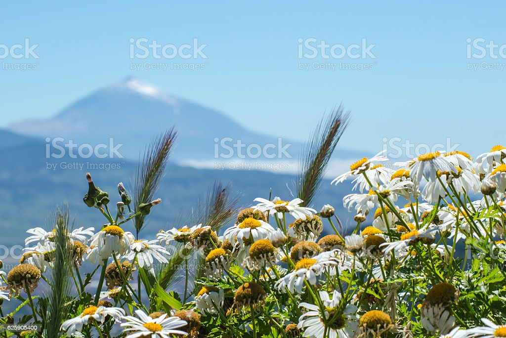 Panoramic view of the Tenerife, Mount Teide, chamomile stock photo