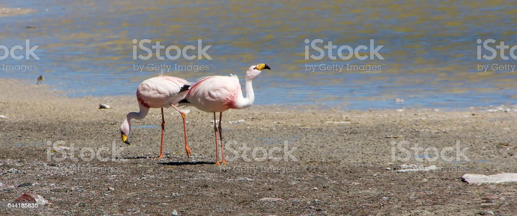 Panoramic view two James's flamingo  on the background of the Alpine lakes in the Bolivian Andes stock photo