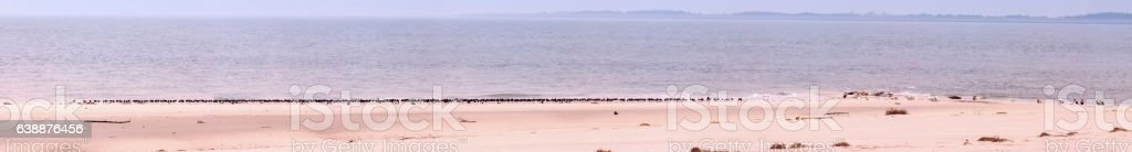 Panoramic view with seals and seabirds on the island Amrum stock photo