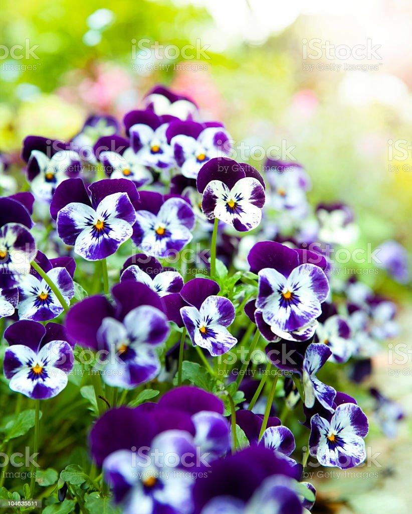 Pansies background stock photo