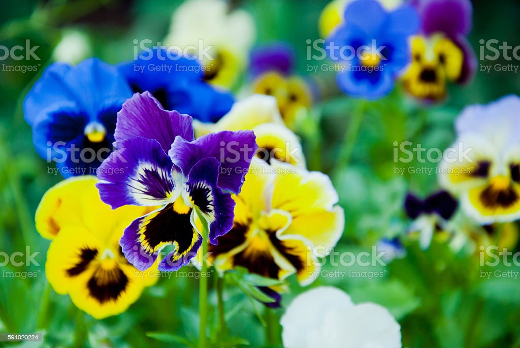 Pansies background stock photo