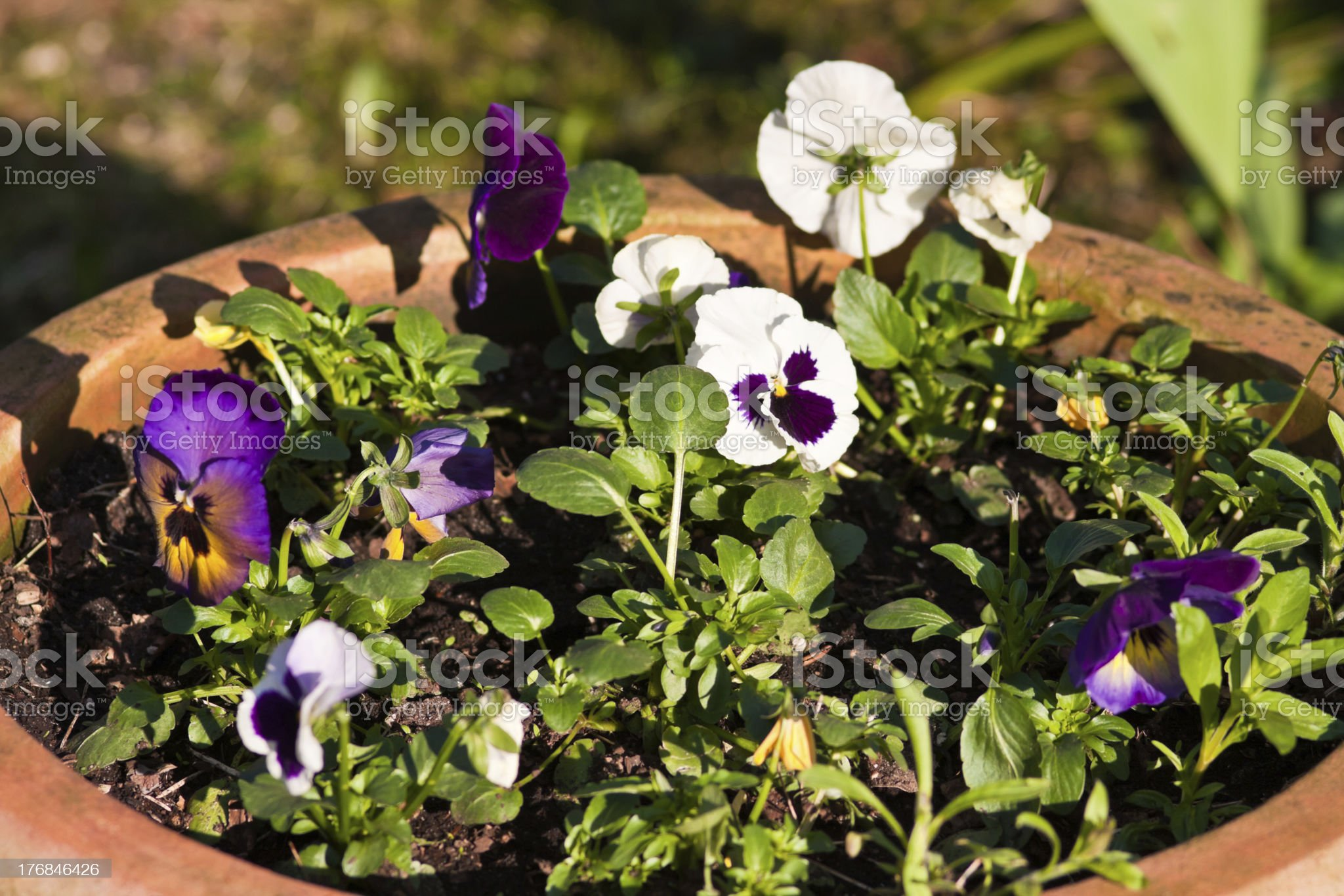 Pansies royalty-free stock photo