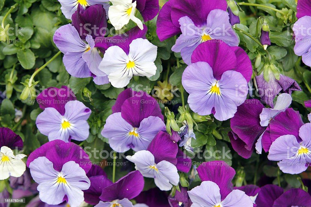 Pansies royalty-free stock photo