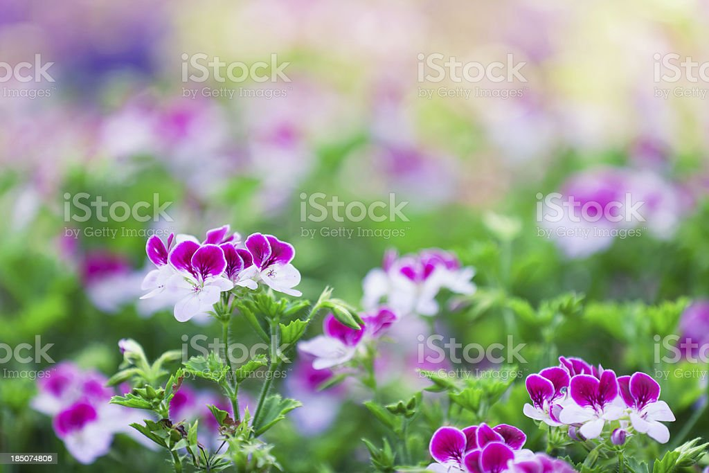 Pansies - Viola Cornuta royalty-free stock photo