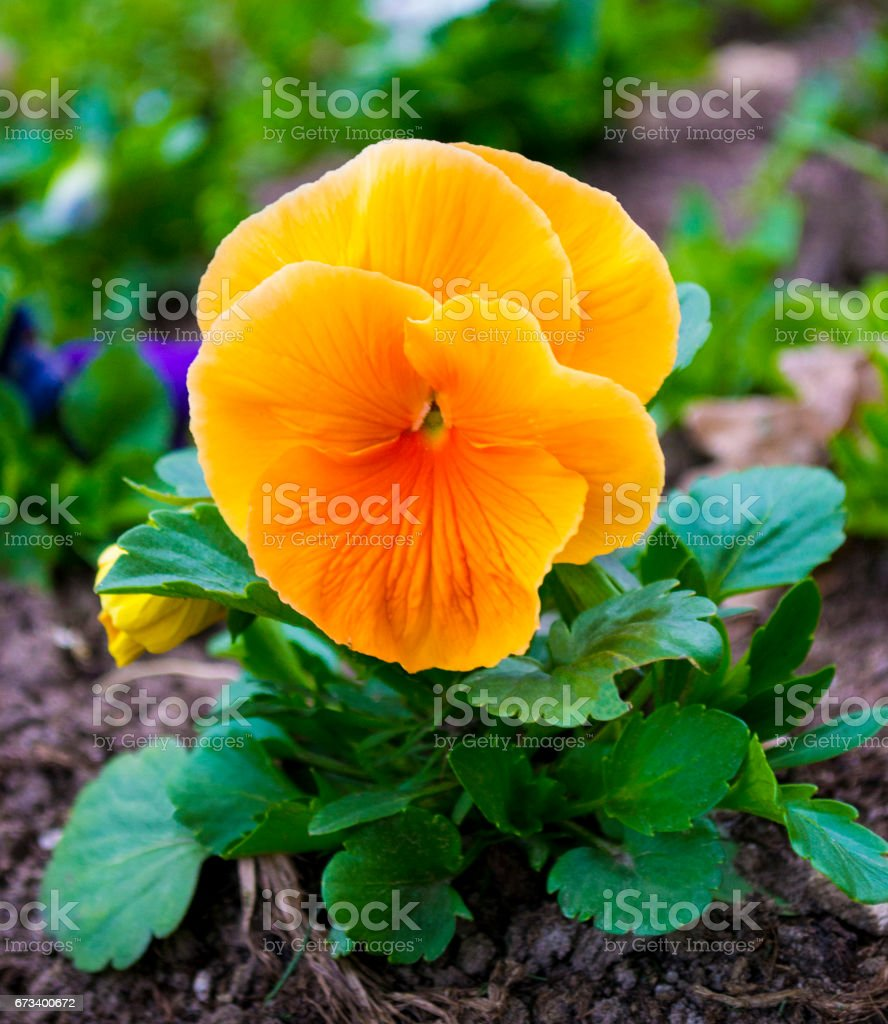 pansies. Violets flowers. stock photo