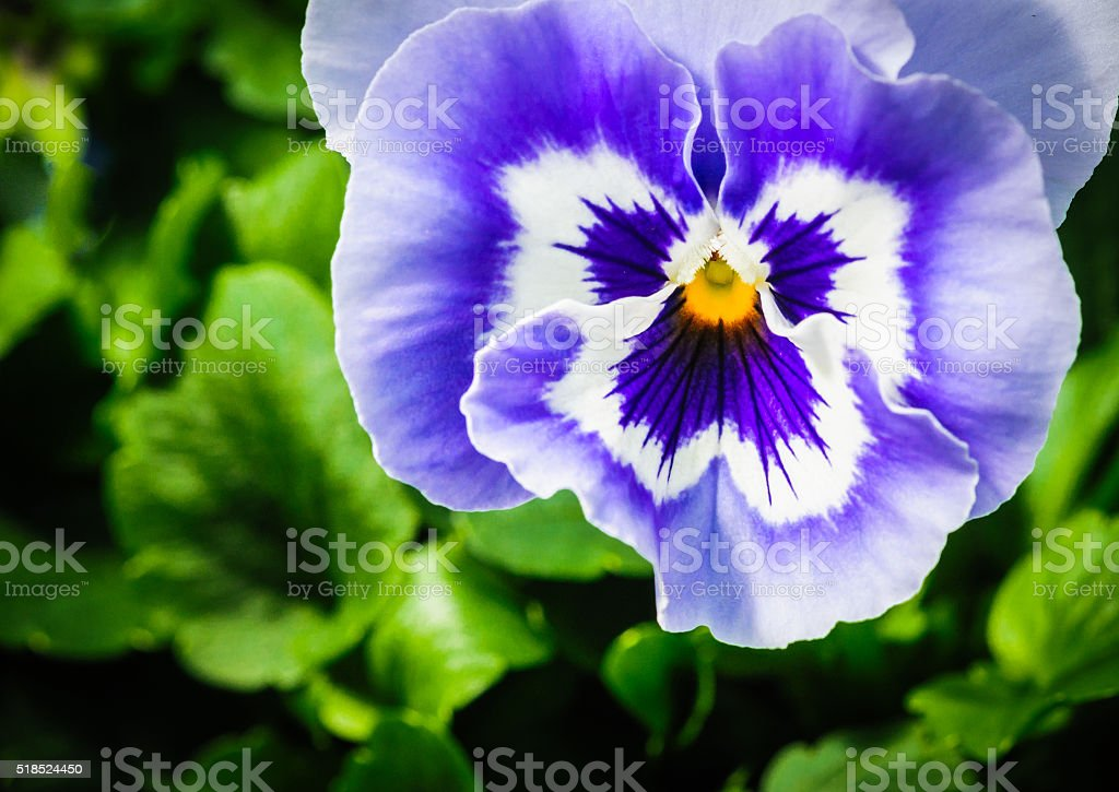 Pansy Face stock photo
