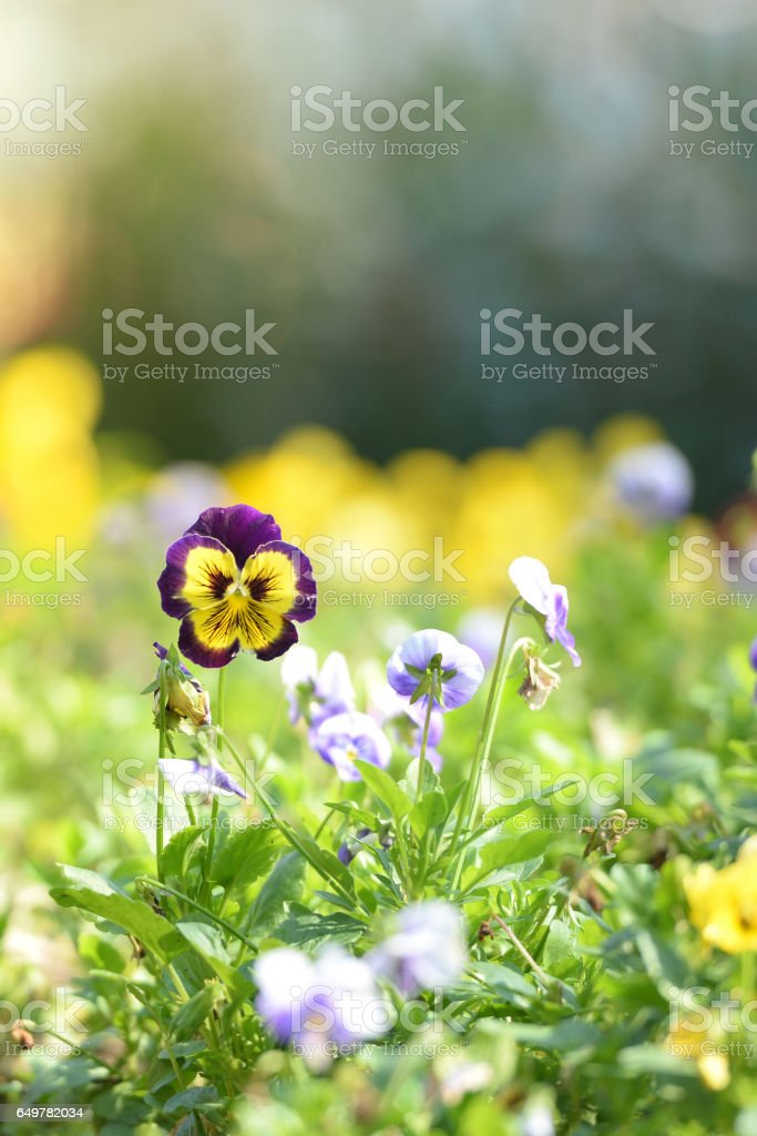 Pansy flower garden in the morning sunirse.Spring or summer flower garden. Nature colorful background. stock photo