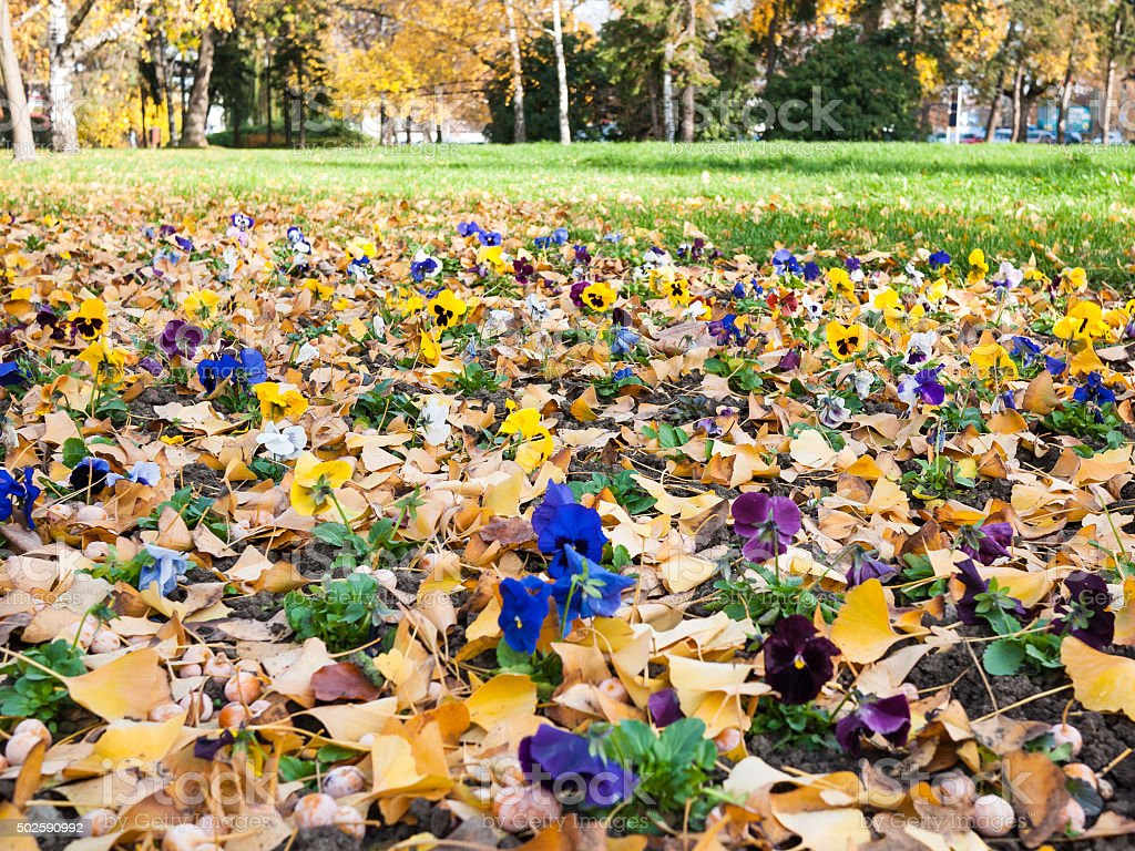 Pansy flowerbed stock photo