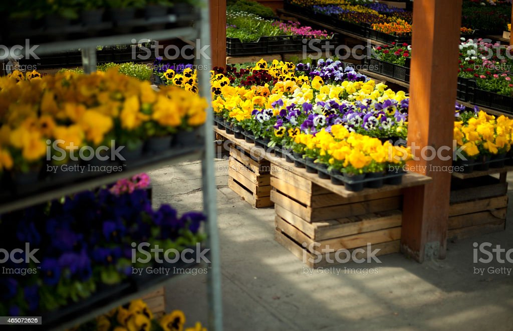 Pansy flowers and daisy  in big plastic box stock photo