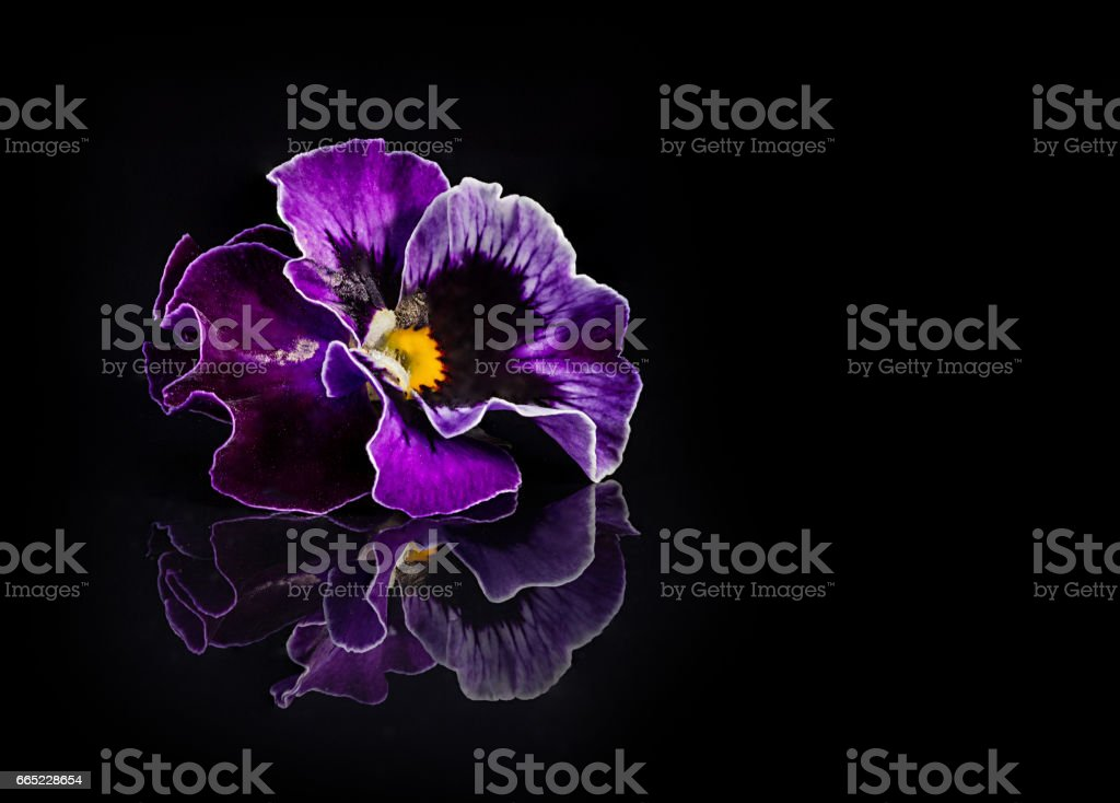 Pansy flowers isolated on black stock photo