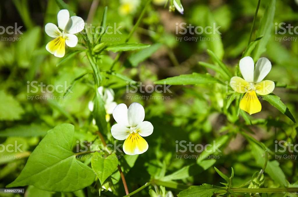 Pansy flowers Viola tricolor int the garden stock photo
