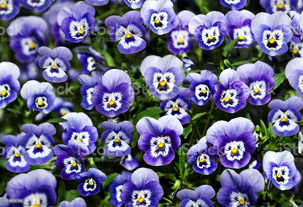Pansy Flowers with Faces royalty-free stock photo