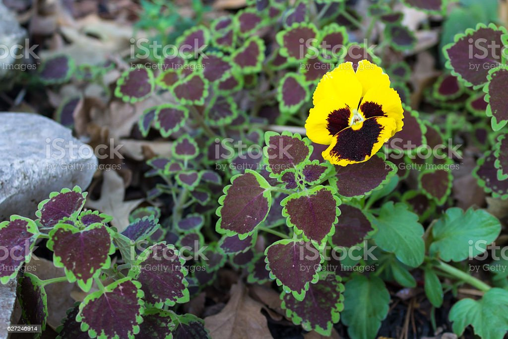 Pansy growing in a flowerbed of coleus and dried leaves stock photo