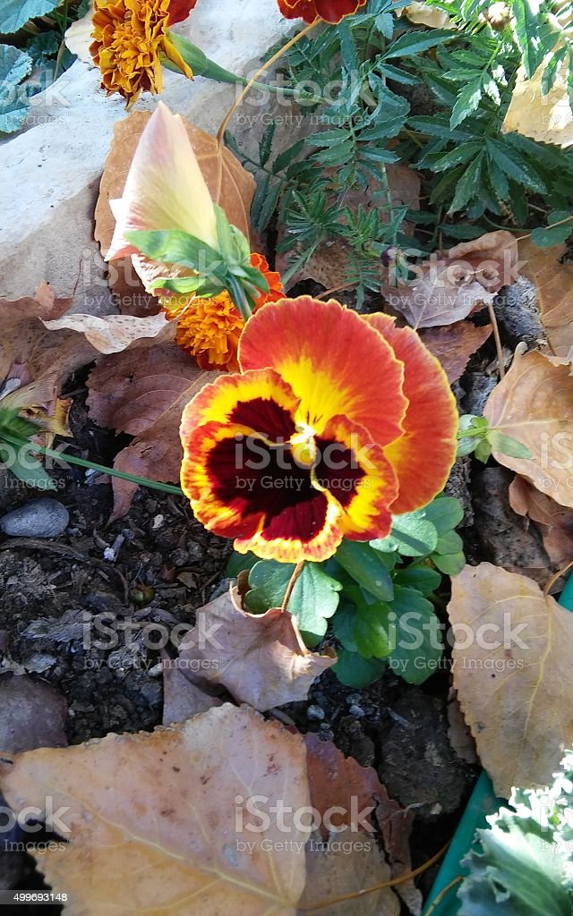 Pansy in Fall stock photo