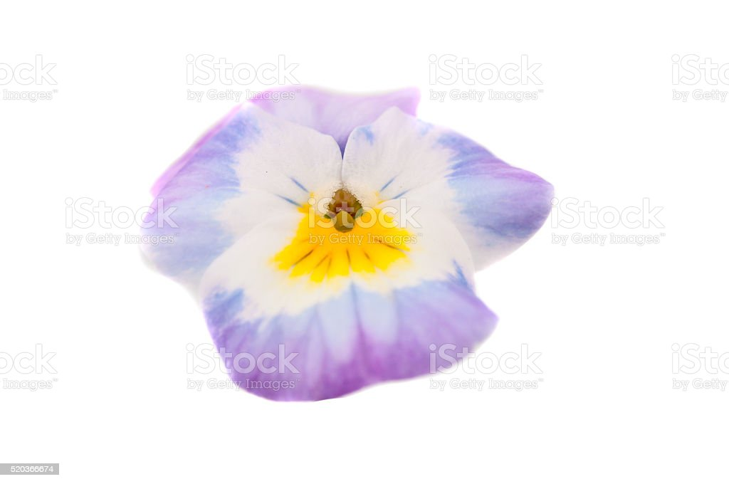 pansy isolated stock photo