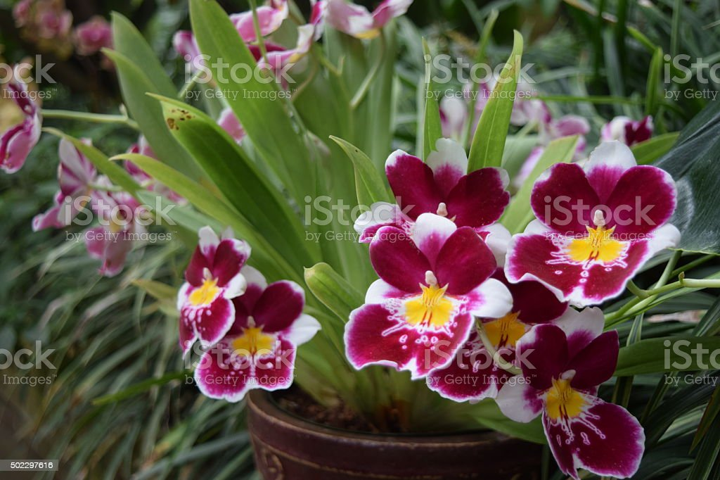 Pansy Orchids in pot stock photo