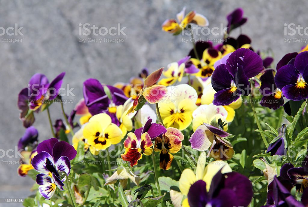 pansy stock photo
