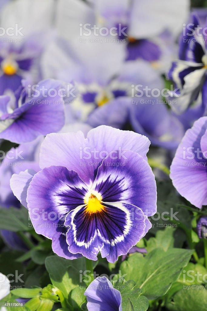 Pansy royalty-free stock photo