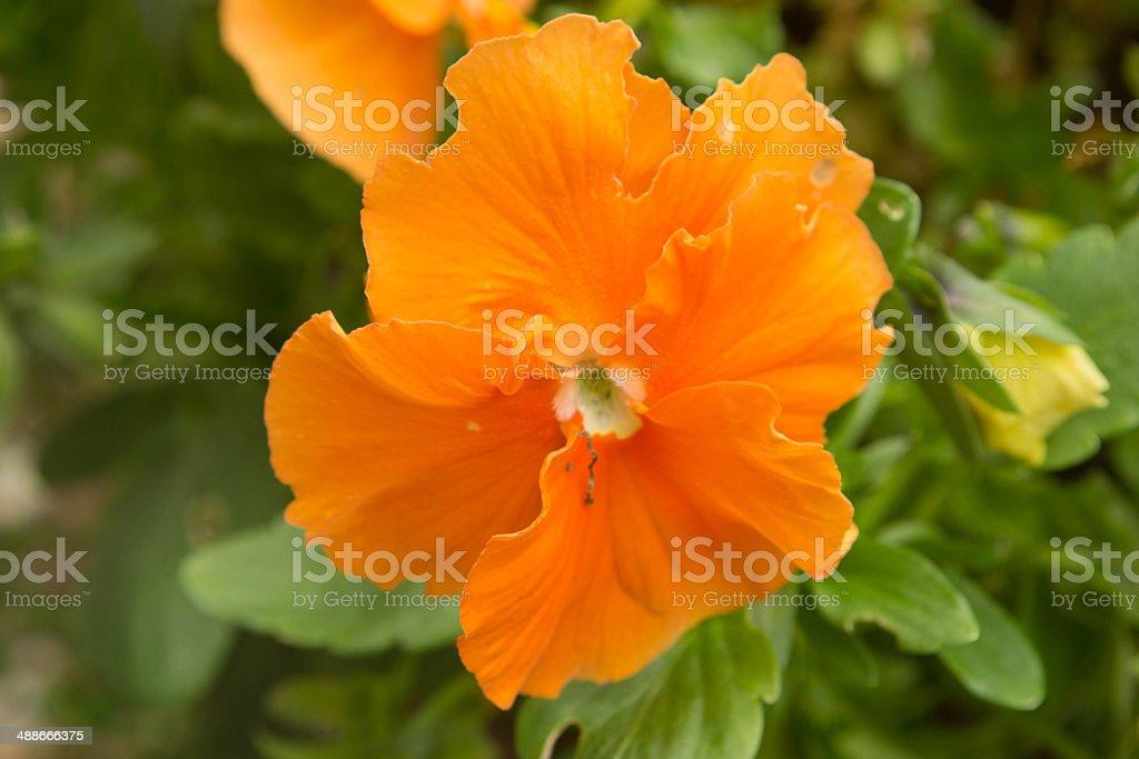 pansy stock photo