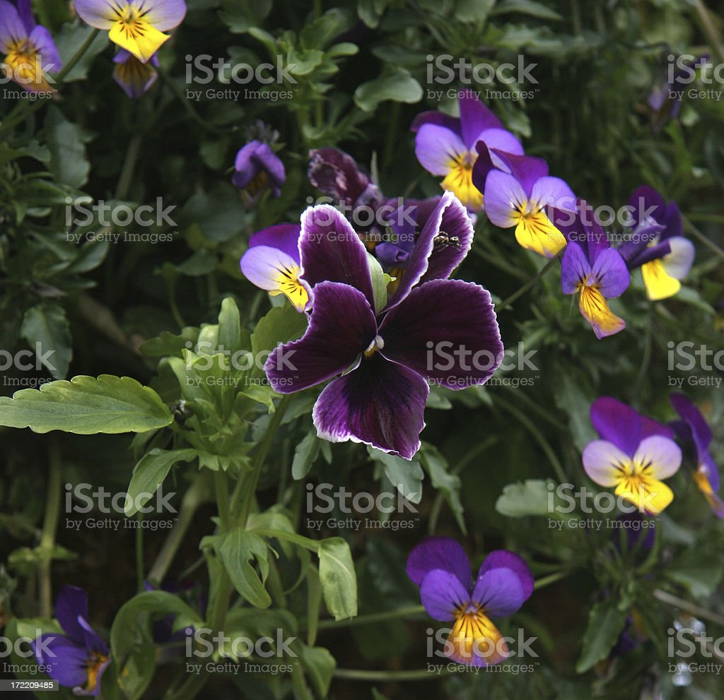 Pansy Power In The Garden stock photo