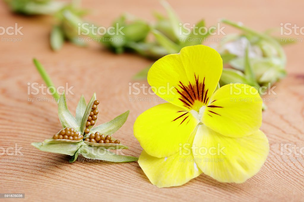 Pansy Seed stock photo