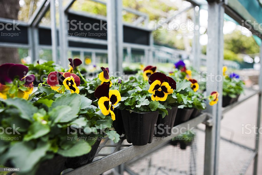Pansy seedlings at garden center royalty-free stock photo