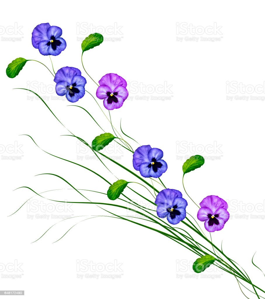 Pansy Violet with Green Leaves stock photo