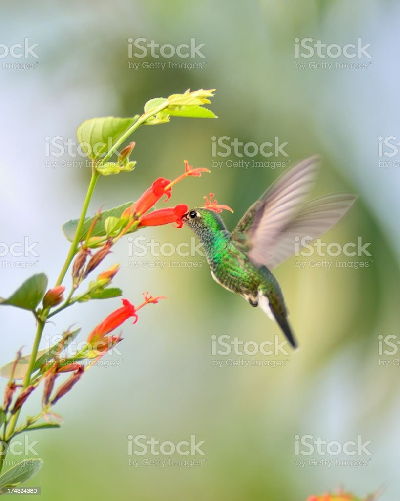 Pantanal Glittering-throated Emerald Feeding royalty-free stock photo