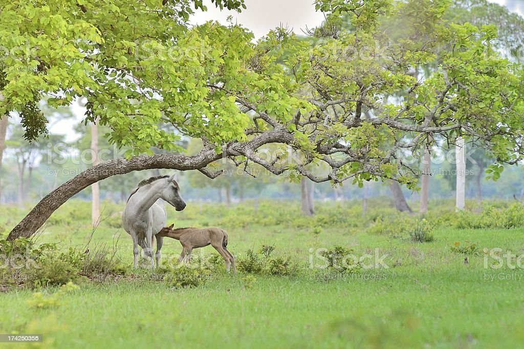 Pantanal Gray Mare And Foal royalty-free stock photo