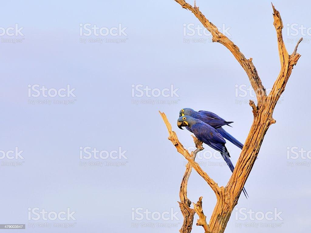 Pantanal Hyacinth Macaw Pair royalty-free stock photo