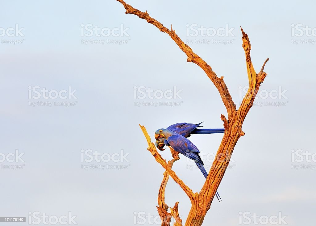 Pantanal  Hyacinth Macaws On Snag royalty-free stock photo