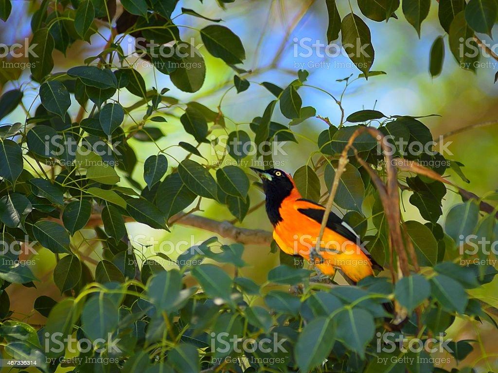 Pantanal Orange-backed Troupial stock photo
