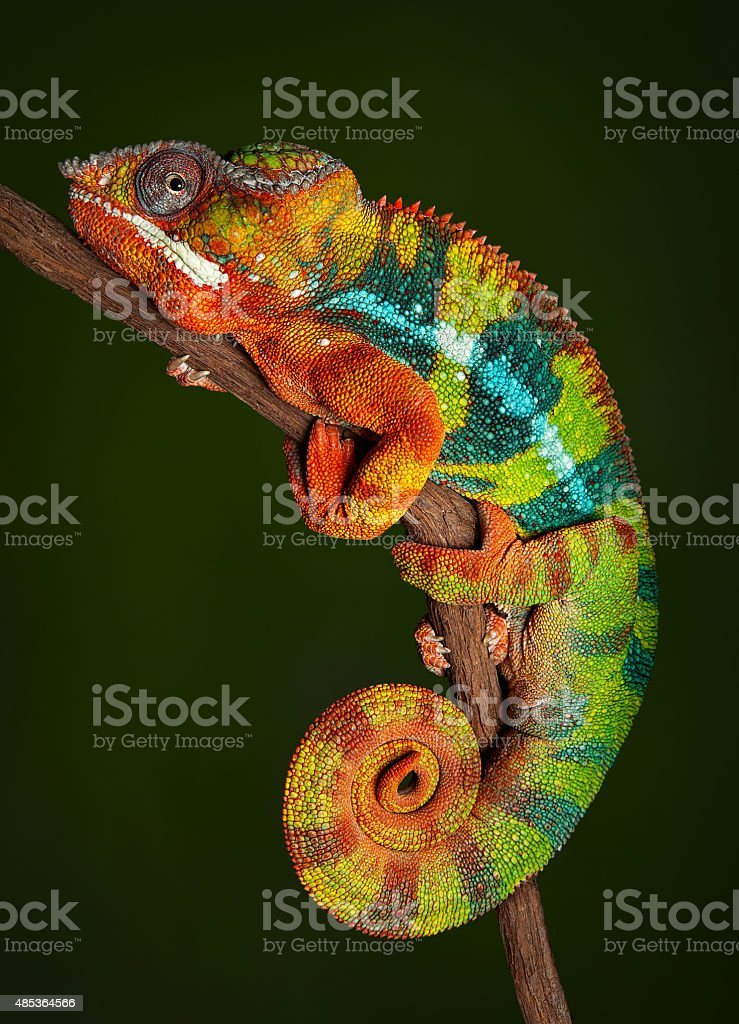Panther Chameleon at rest stock photo