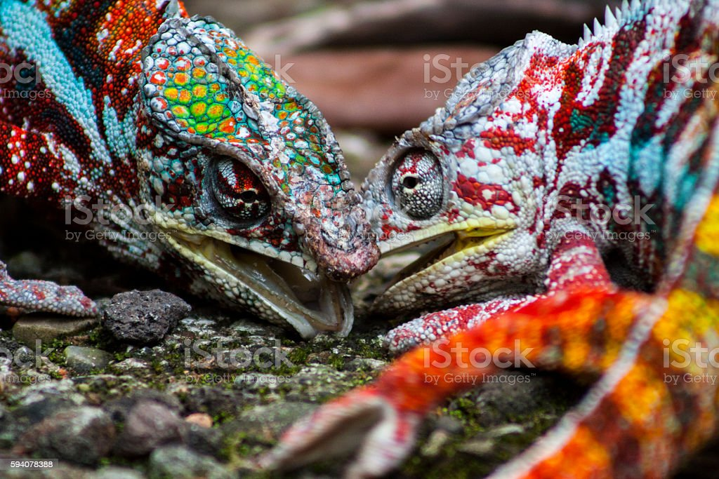 Panther Chameleon fighting stock photo