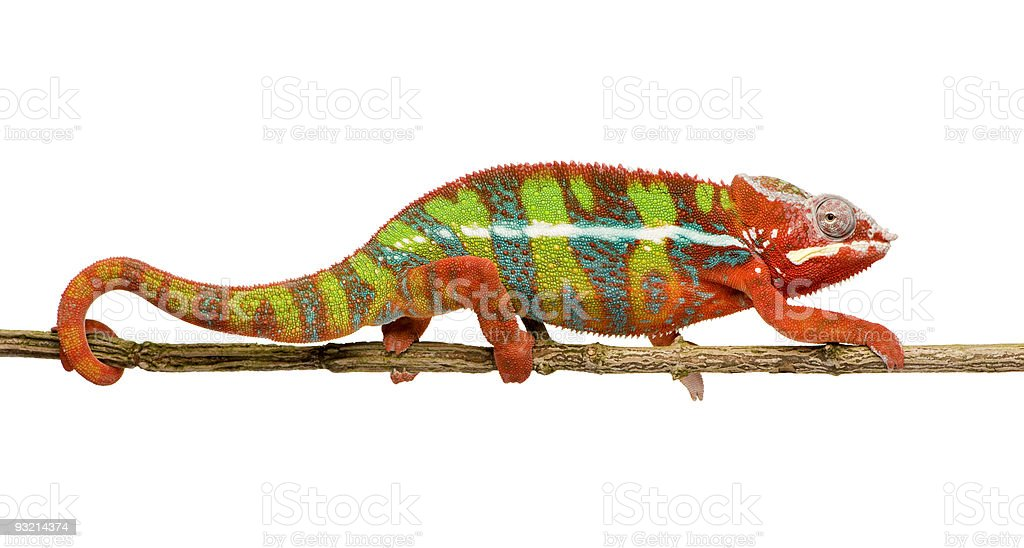 Panther Chameleon Furcifer Pardalis - Ambilobe (18 months) royalty-free stock photo
