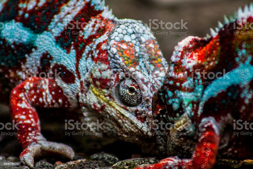 Panther Chameleon stock photo