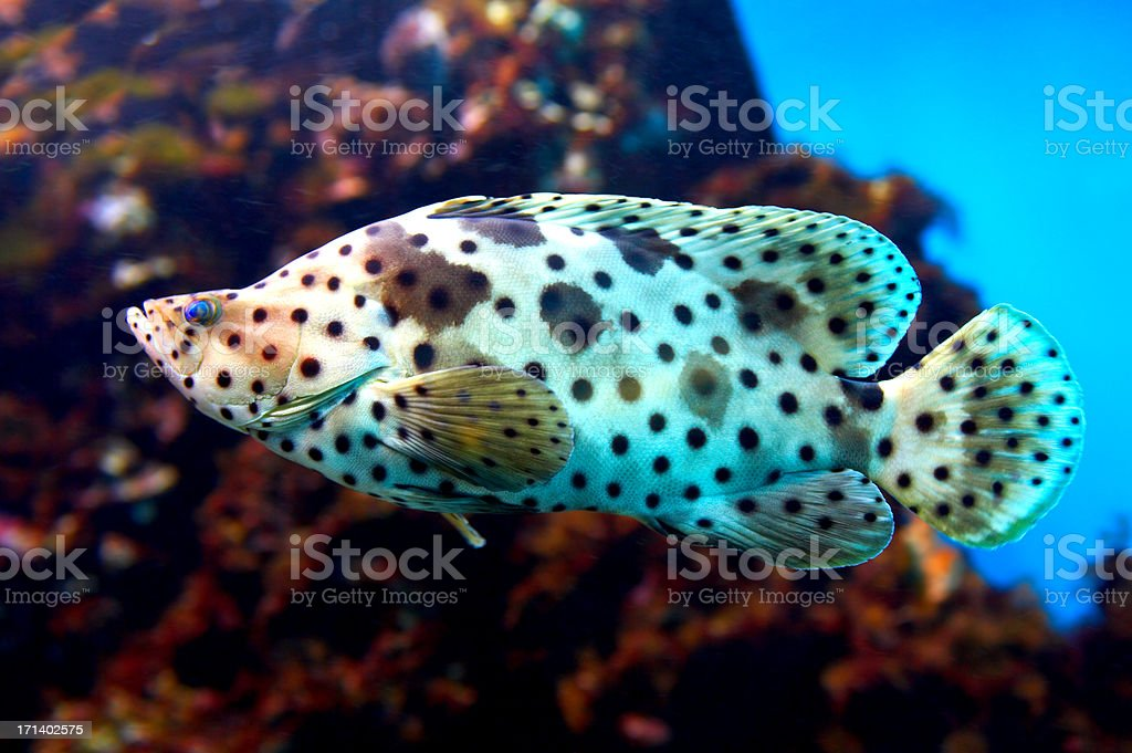 Panther Grouper - 'Cromileptes Altivelis' royalty-free stock photo