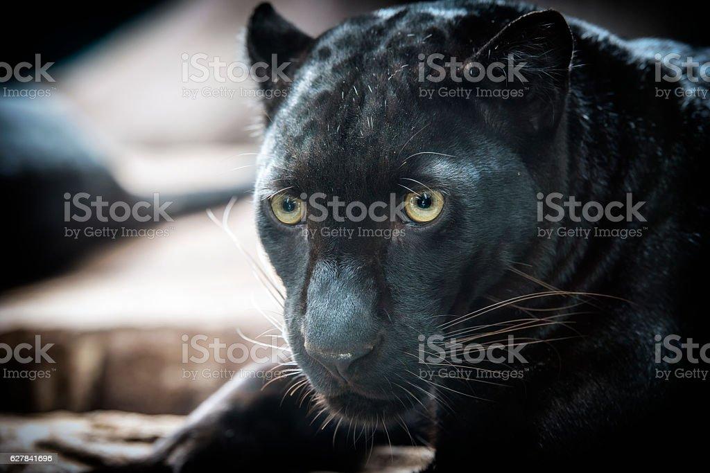panther on dark bacground stock photo