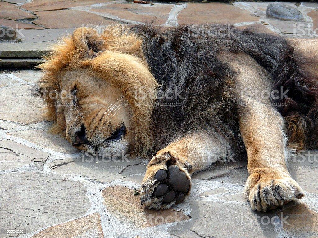 Panthera leo persica stock photo